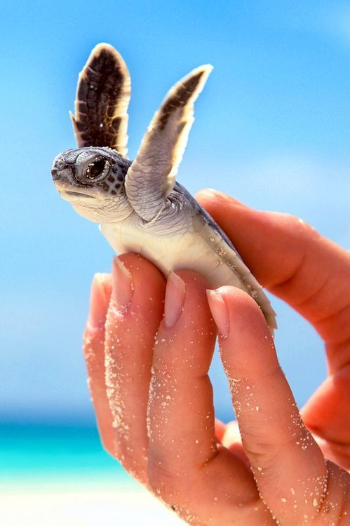 The fact the person is holding it means it's going to die. Turtles hatch at night so they can follow the moon. Gulls, other birds, fish, raccoons, and crabs all eat baby turtles as they try to reach the ocean. This turtle might not make it and has been left by its siblings. Only about twelve turtles survive if it's the first group the mother has laid, out of around one hundred eggs, if they're lucky.<<<< well that's depressing
