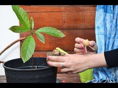 más de 25 ideas increíbles sobre Árbol de aguacate en pinterest