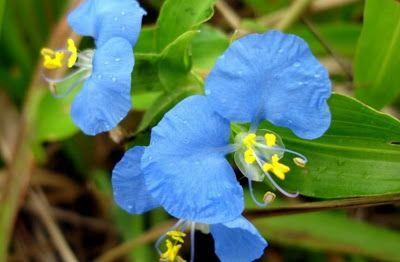 Flor azul do Cerrado - Trapoeraba-azul - erva-de-santa-luzia