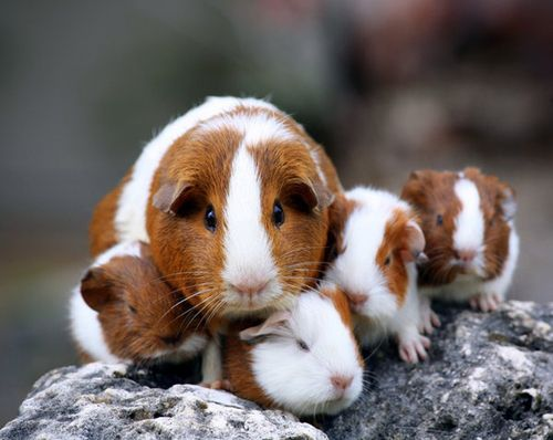 Little guinea pigs with their Mother.  10 pictures of animals inside of pin, but not in English