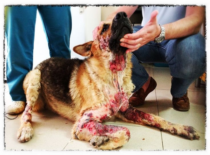 Axel, the dog that crawled out of HELL - This is one of the most disturbing, horrid cases of animal abuse...but thank God a happy ending...I wish we could find these filth and do the same to them...