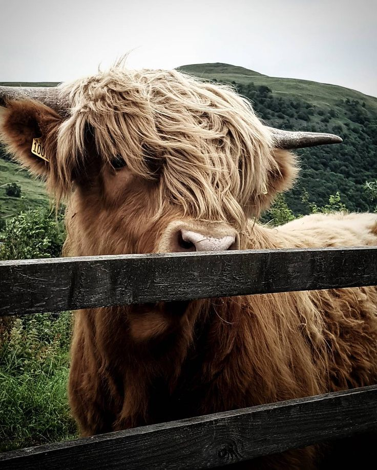 "150 Likes, 3 Comments - paul nevans (@weenev) on Instagram: ""ma big pal the day!! av seen hundreds of scottish people put posts up of highland cows (koos) so a…"""