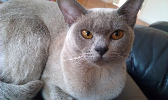 Burmese Cat Breeds Photo Species Images And Kitty Wallpaper - Cat And Kitten Images
