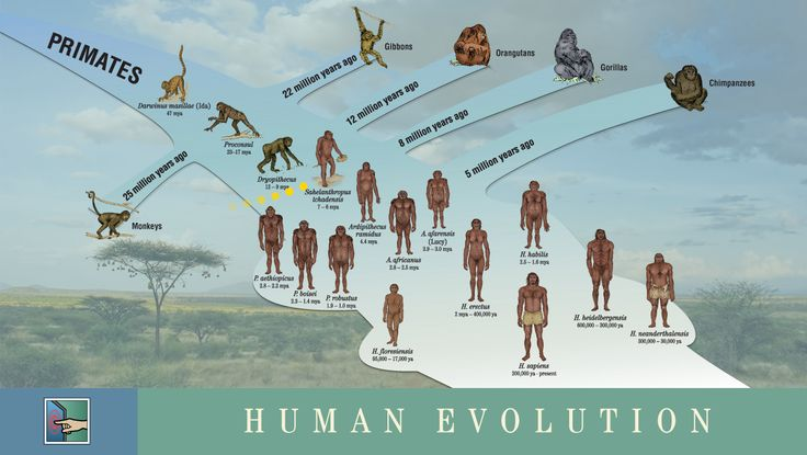 Early Humans Evolution ken hokes human evolut...
