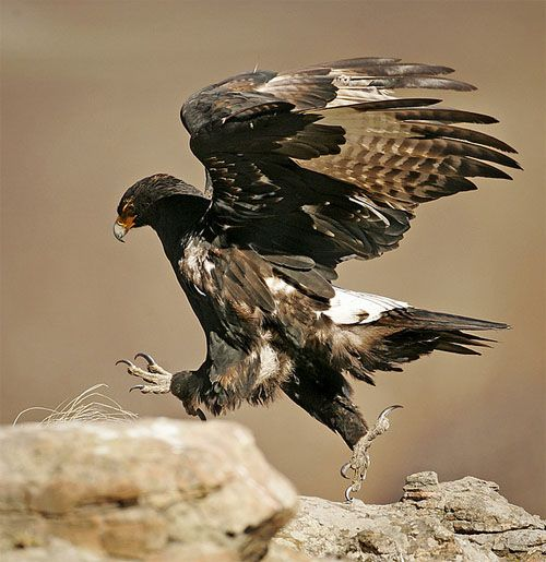 Black Eagle | veroux/black eagle walk by Andy Goodman
