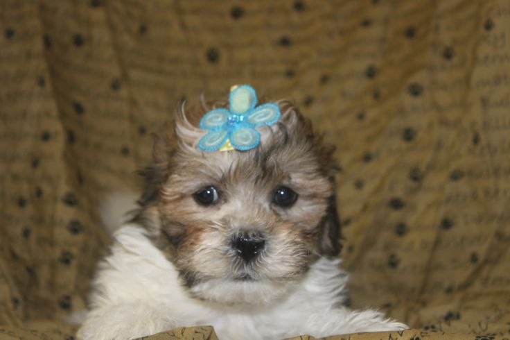 Lhasa - Poo Puppies For Sale http://www.network34.com/dogsbreed/lhasa-poo-puppies-for-sale-in-pa/