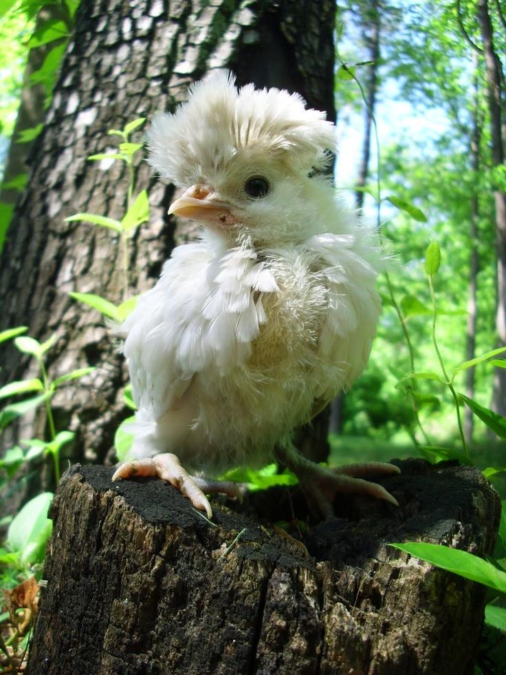 baby polish at 4 weeksChicken Chicken Chicken, Chicken Breeds, Chicken Coops, Polish Chicks, Polish Chicken, Chicken House, Beautiful Birds, Baby Polish, Chicken Mad