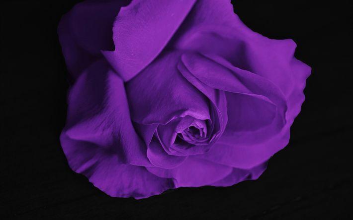 Hämta bilder Lila ros, rosebud, lila blommor, rosor