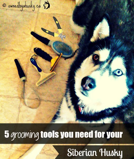 5 Grooming Tools You Need For Your Siberian Husky