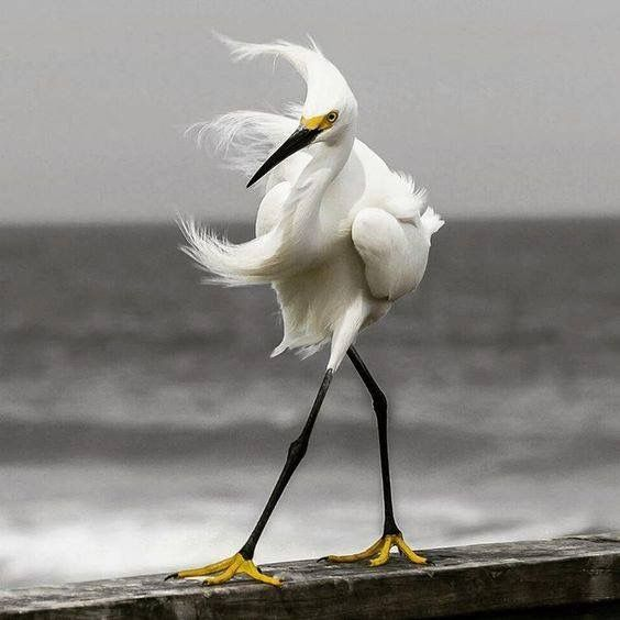 A Heron struts it's stuff