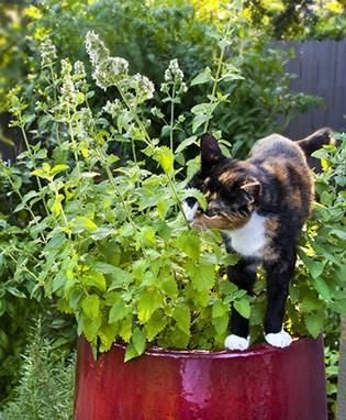 Catnip is a purr-fect plant for your favorite feline. It's easy to grow, bearing white flowers with purple speckles in the summer. No resident kitty? Brew some tea with the leaves.