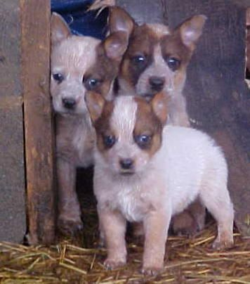Kona is the front puppy! Shes a Red Heeler or Red Australian Cattle Dog.