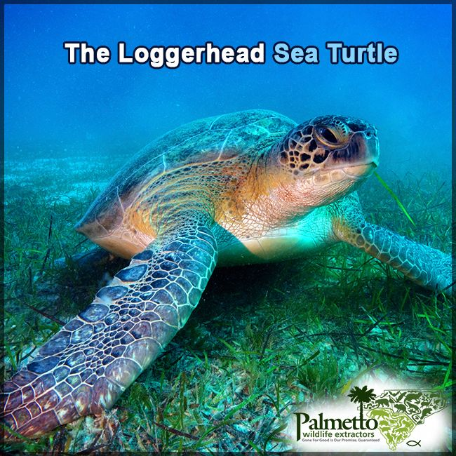 DID YOU KNOW…The South Carolina state reptile is the Loggerhead Sea Turtle. It's named for its very large head and strong jaws. They measure up to 3.5 feet long & weigh approximately 300 pounds. These amazing turtles have a lifespan 47-67 years.The logger head sea turtle is omnivorous. It feeds mainly on bottom dwelling invertebrates such as mollusks, crustaceans, horseshoe crabs, clams, mussels, & other marine animals.#LoggerheadSeaTurtle #Turtles #TurtleFacts