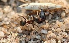 Black garden ants ant – Wikipedia, the free encyclopedia