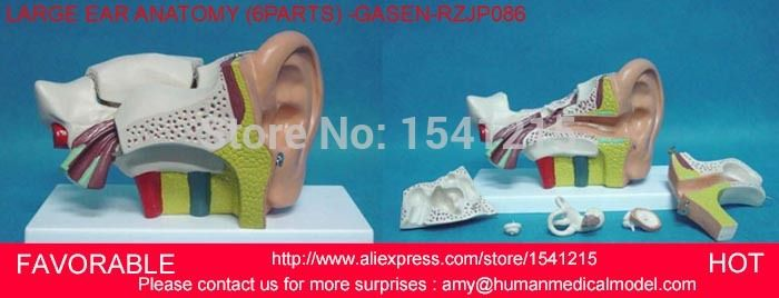 Best 25+ Ear anatomy ideas on Pinterest Eye pencil drawing, Realistic eye and Human ear