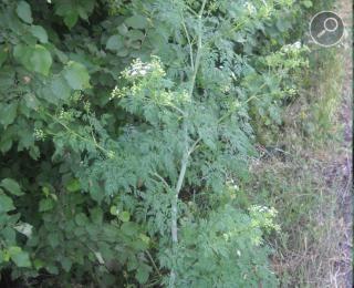 Το κώνειο - Conium maculatum