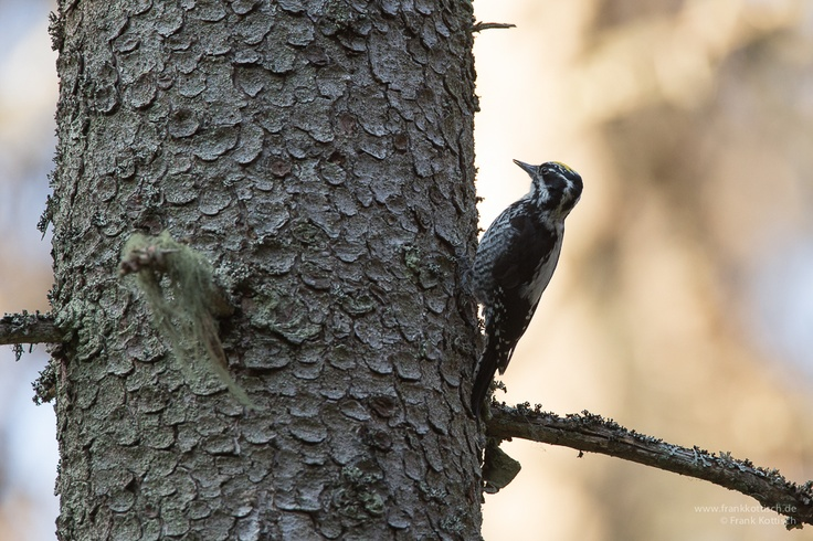 A Three toed woodpeckar spotted in the woods of Färna Eco-park. Photo Frank Kottisch.