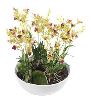 Mini Dendrobium Orchid in pot - Set of 2 - Complete Pad ®