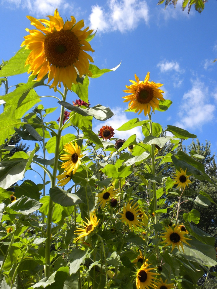 Sunflower Garden Ideas find this pin and more on garden creative ideas Sunflower Garden In Your Back Yard