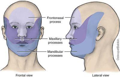лицевого черепа.   Frontonasal — лобно-носовой отросток.  Maxillare processus — верхнечелюстной отросток первой жаберной дуги.  Mandibular — нижнечелюстной отросток первой жаберной дуги