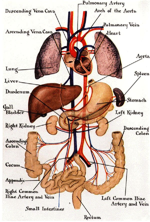Internal Body Diagram
