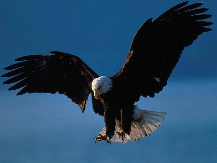 eagles in flight   American Eagle Pictures : Bald Eagle in Flight, Alaska