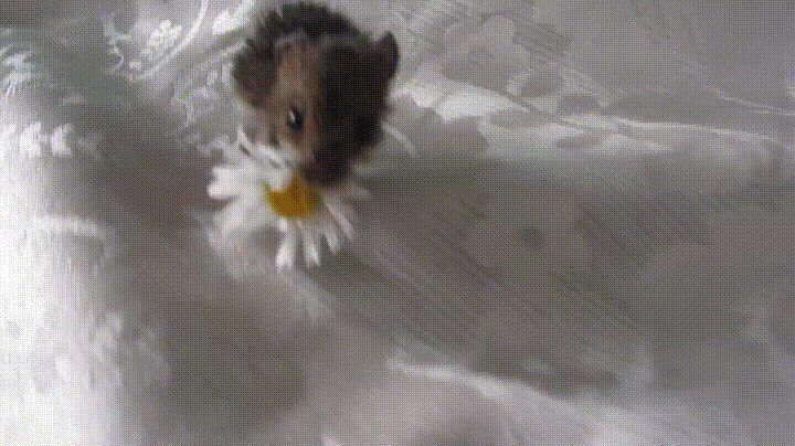 Tiny Mouse Eating a Daisy - GIF on Imgur