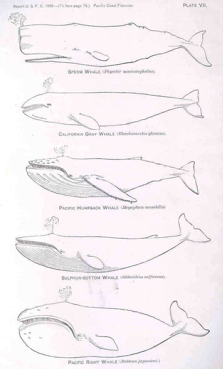 24 best art images on pinterest drawings blue whale and whales