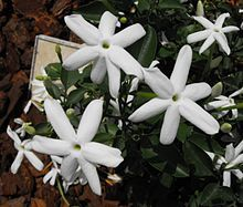 Jasminumangulare .  (Wild Jasmine) is a species of jasmine, in the family Oleaceae that is indigenous to South Africa.  This scrambling climber can be grown in the sun or semi-shade. It produces masses of white, scented, star-shaped flowers and it attracts a variety of birds. This is one of around 10 species of Jasmine that naturally occur in South Africa.[1][2]