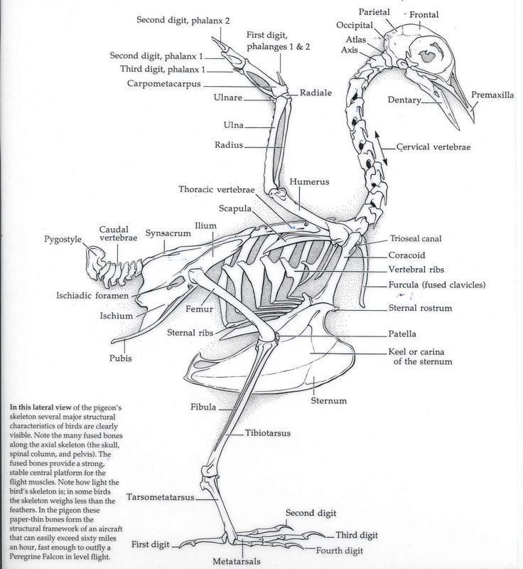 65 best skeletons images on pinterest