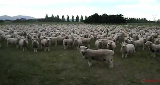 Προεκλογική ομιλία σε... πρόβατα (video)