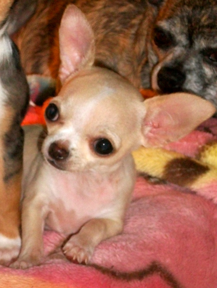 1000 Images About Chihuahua S On Pinterest Black