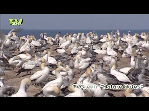 Cape Kidnappers is home to an enormous gannet bird sanctuary. Looking for broadcast footage? Don't shoot! Contact http://www.stockshot.nl/english/startuk.htm ©