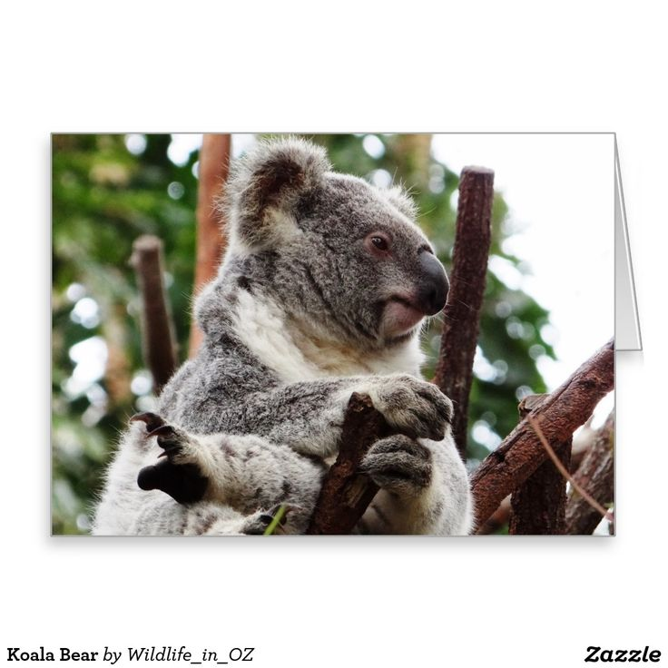 Koala Bear Greeting Card - Australian Wildlife. Click on photo to view item then click on item to see how to purchase that item. #postcard #greetingcard #koala #koalabear #wildlife #australianwildlife #zazzle