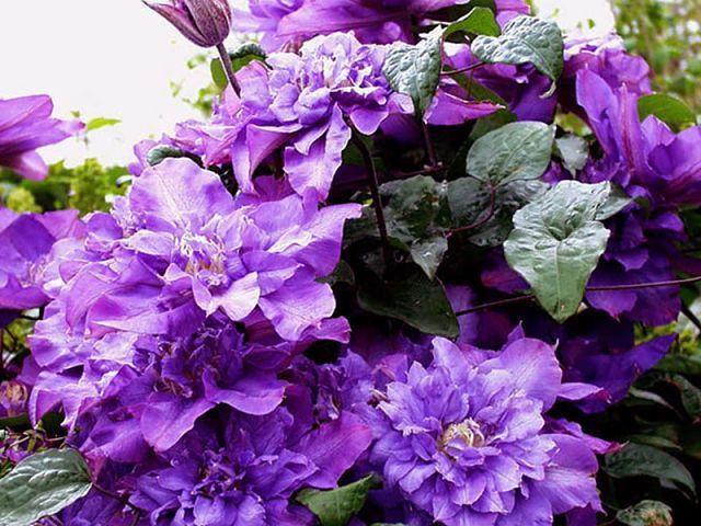 КАК И КУДА ПРАВИЛЬНО ПОСАДИТЬ КЛЕМАТИС! Сохраните, чтобы не потерять! Знаете ли вы, что от правильной посадки клематиса зависит общее развитие и состояние растения? Посаженная наспех лиана, ни когда не будет радовать вас пышным цветением. От выбранного вами места для посадки саженца, тоже зависит будущие благополучие растения. Выбор сорта и знания о его биологической особенности, так же будет влиять на конечный результат. Выращивание растений начинается всегда с подготовки посадочной ямы...