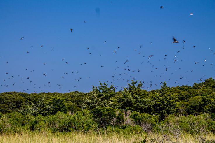 Birds in flight at Cedar Point County Park, Sag Harbor, NY (09/02/2015)