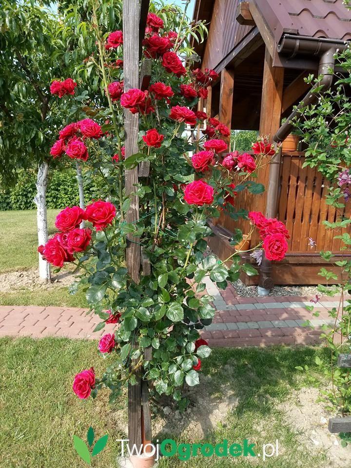 Roze Na Pergoli Plants Flowers Rose