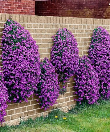 Rock Cress - Plant Aubrieta 'Cascade Blue'   Excellent evergreen ground cover, producing cushions of pretty purple-blue flowers. It can be planted along the edge of a bed or lawn, or in the rockery, but is also very effective in a hanging basket displaying a profusion of colour.