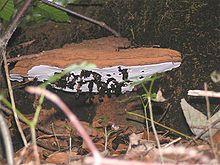 >>>PIN TREES>>>  Ganoderma applanatum - Wikipedia