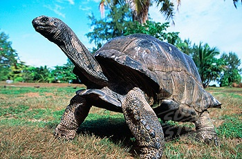 TortoiseTurtles Power, Aldabra Tortoises, Turtles Torte, Beautiful Creatures, Aldabra Tortoies, Science Fun