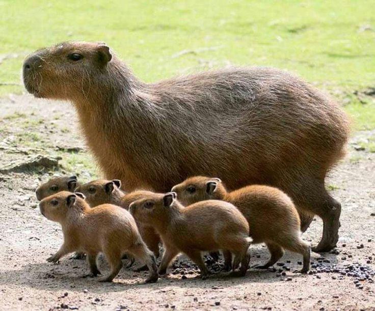 Capybara family ❤❤