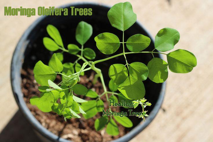 35% Off All Moringa Trees SALE!!😊 😍 Hurry...