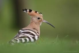 Hoopoe that wakes me up at 7am tapping on the window. My live alarm clock !!!