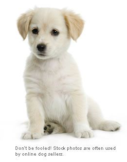 To buy puppies online is usually just as bad as buying them in a pet shop, maybe even worse! Websites that let you buy a puppy online often EVEN WORSE. Don't be fooled! Stock photos are often used by online dog sellers.