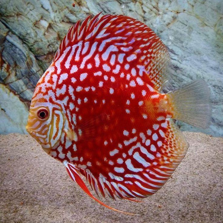 Las 25 mejores ideas sobre peces disco en pinterest y m s for Acuariofilia peces ornamentales
