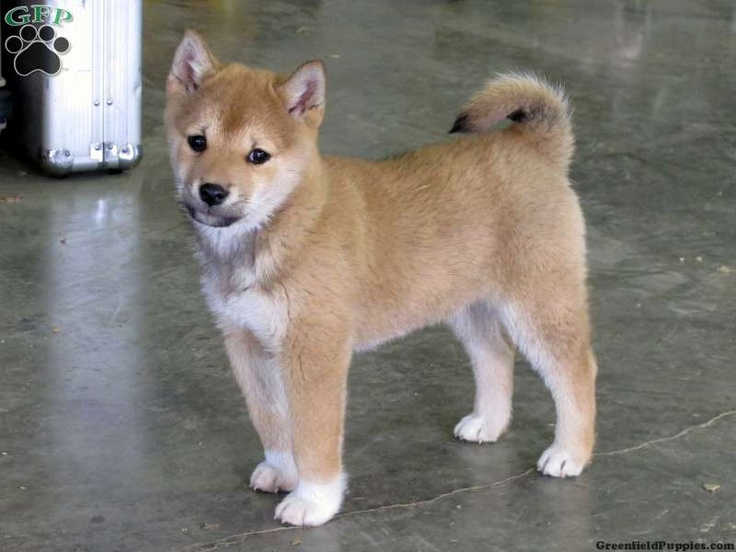 Shiba Inu Puppies For Sale In PA Cute and furry