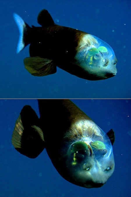 Rare look at the stunning Barreleye with transparent head, a small deep-sea argentiniform fish comprising the family Opisthoproctidae. It's found in tropical-to-temperate waters of the Atlantic, Pacific, and Indian Oceans.  I would love to see this in person.