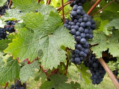 How to Grow Grapes Good tips pruning and birds