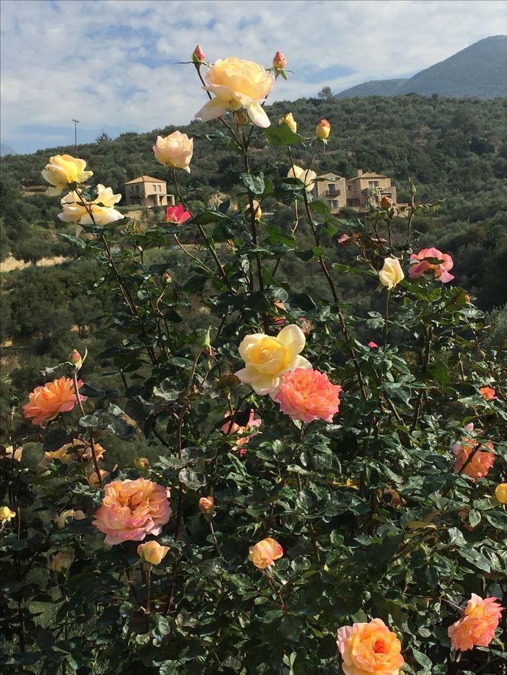 Messinian roses