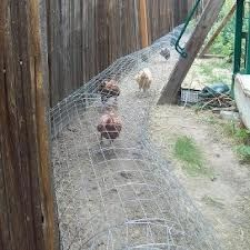 Urban chicken run, around fence perimeter?